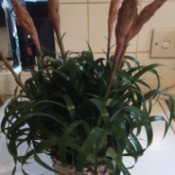 What Is This Houseplant? - bromeliad looking plant