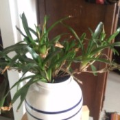 What Is This Houseplant? rangy houseplant with multiple stems and draping growth habit