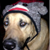 Bashful (German Shepherd Mix) - wearing monkey hat