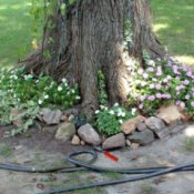 A flowerbed around a large tree trunk.