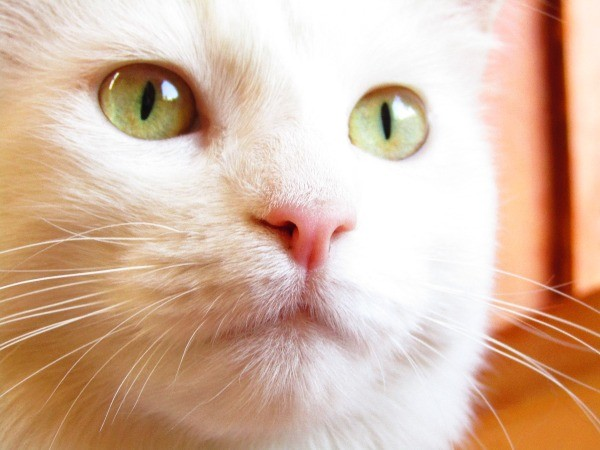 Chicha (Cat) - closeup of white cat with green eyes