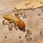 A termite or white ant with eggs.