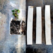 Easy Transfer Of Seedlings And Rootings - seeding with strip still up both sides