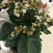 Identifying a Houseplant - plant with large dark green leaves and clusters of small white flowers