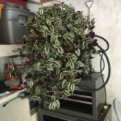 What Is This Houseplant? - looks like Wandering Jew