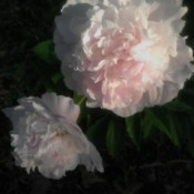 Pristine Sun-kissed Peony Blossom - white and pale pink peony