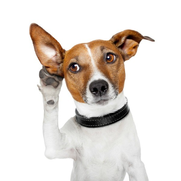 A dog holding a paw up to one of his ears, as if listening.