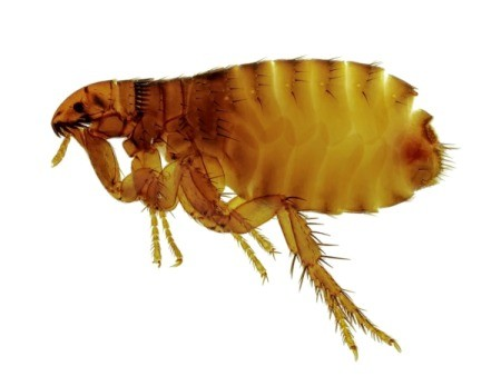 A close up of a flea.
