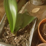 Orchid Leaves Turning Brown - orchid in pot