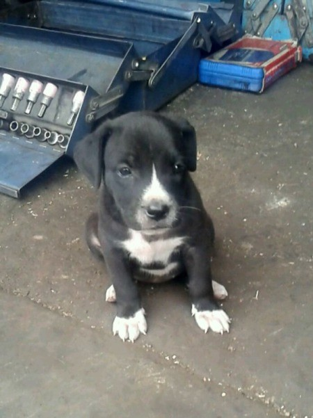 Is My Puppy a Pit Bull? - black and white puppy