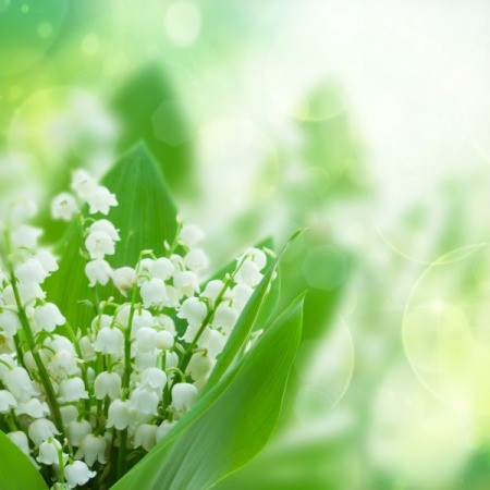 A lily of the valley plant in bloom, with small white bell shaped flowers.
