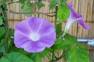 A morning glory vine in bloom.