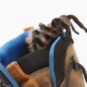 A spider crawling into the top of a boot.