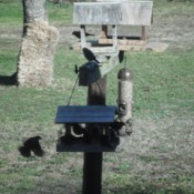 Cowbirds - on feeder