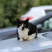 A black and white cat sitting on a car's hood.