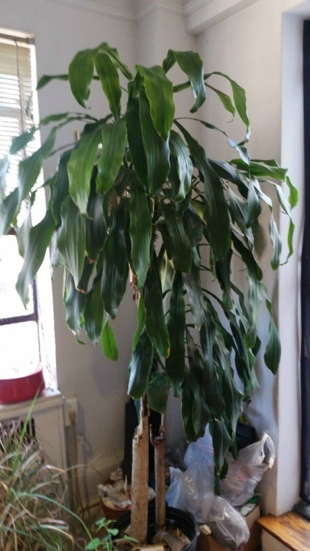 What Is This Houseplant? tall Dracaena looking plant