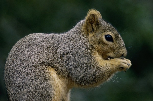Natural Repellent For Squirrels Thriftyfun