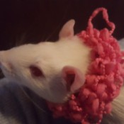 Miss Daisy (Rat) - white rat with ping collar