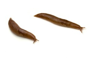 two large slugs