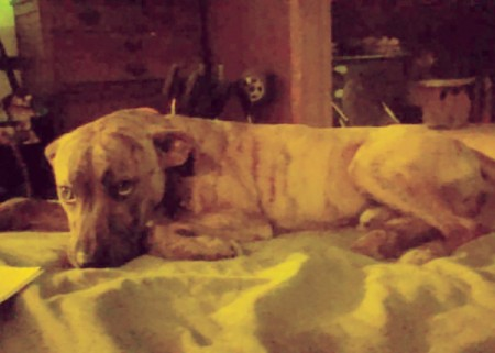 Is My Dog a Full Blooded Pit Bull? - brindle dog lying down