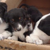 New Puppers (Mixed Breed) - black and white puppies in a cardboard box