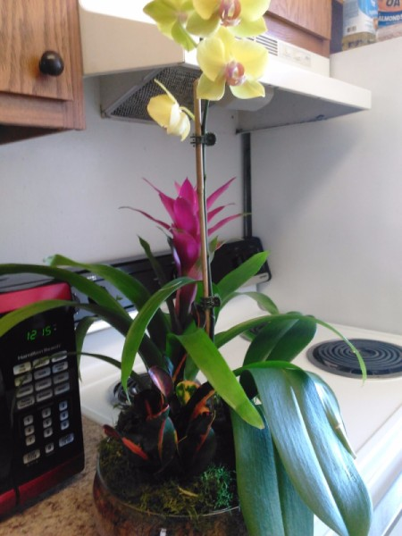 Identifying a Houseplant - pot with an orchid, a bromeliad, and unidentified plant with green, red, and yellow leaves
