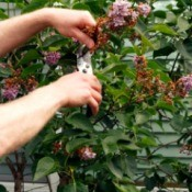 A lilac bush being pruned at flowering time.