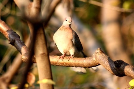 Garden Variety Birds - dove looking bird with speckled collar feathers