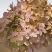 Drying Hydrangeas