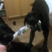 Dog Toy from Old Dish Towels  - dog pulling on towel toy