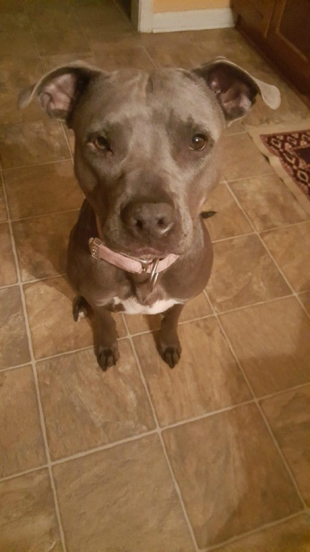 Is My Pit Bull Full Blooded?