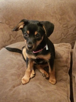 Miniature Pinscher Mix Photos And Information Thriftyfun