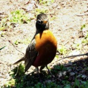 Robin Red Breast - robin in part sun