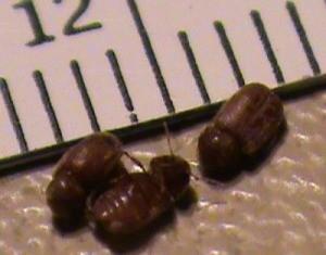 drugstore beetles how to get rid