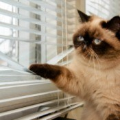 A siamese cat looking out window blinds.
