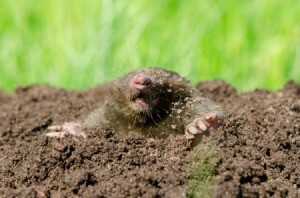 A mole sticking its head out of a mound in a yard.