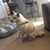 Storm (Shiba Inu) -  sitting by couch