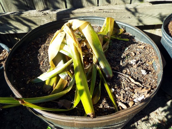 Accepting Gardening's Disappointments - Crinum
