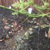 Tips of Avocado Tree Branches Turning Black - blackened branches