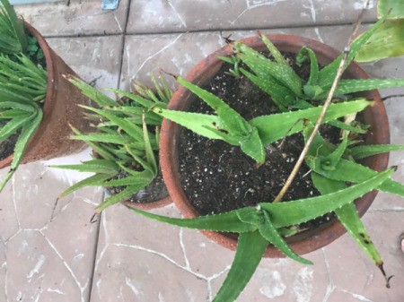 Aloe growing in pot.