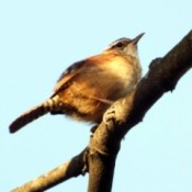 The Littlest Bird Is The Loudest - house wren