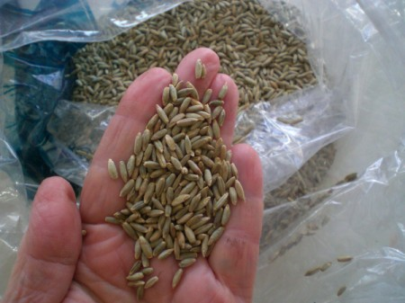 Grow Grass Hair for Project or Pets = rye seeds in person's hand