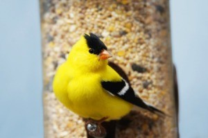 Yellow Finch on a feeder
