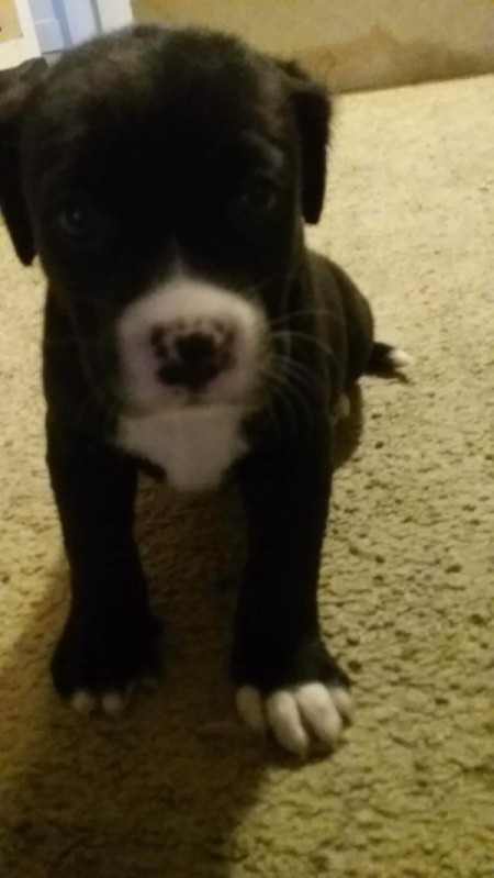 Is My Puppy a Pure Bred Pit Bull? - black and white puppy