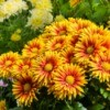 Yellow and orange potted chrysanthemums