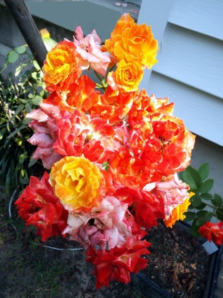 Piñata Rose Cluster - brillante red, yellow, and reddish orange blooms