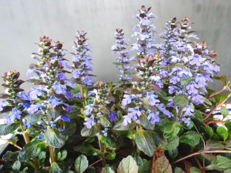 Ajuga Chocolate Kiss