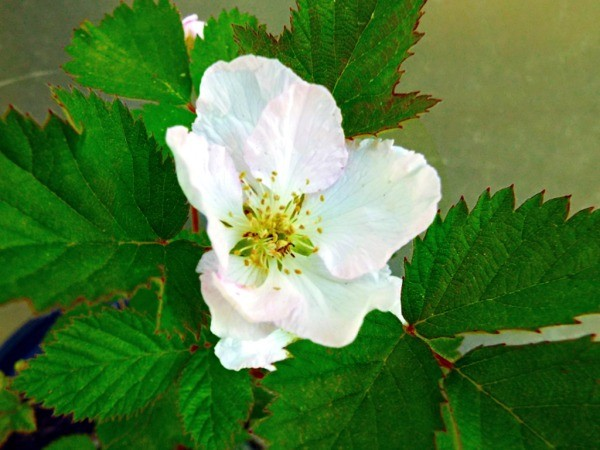 Arapaho Blossom - blackberry flower
