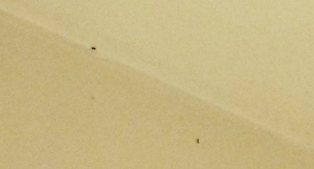 Getting Rid of Crawling Bugs That Also Fly - two ant looking bugs