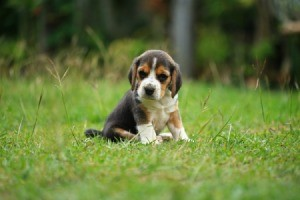 A beagle puppy sitting on the grass.